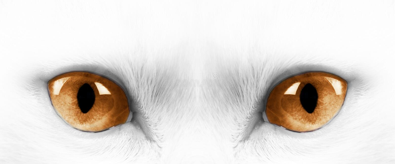 Download White cat stock image. Image of grey, hair, kitten, head - 14337725