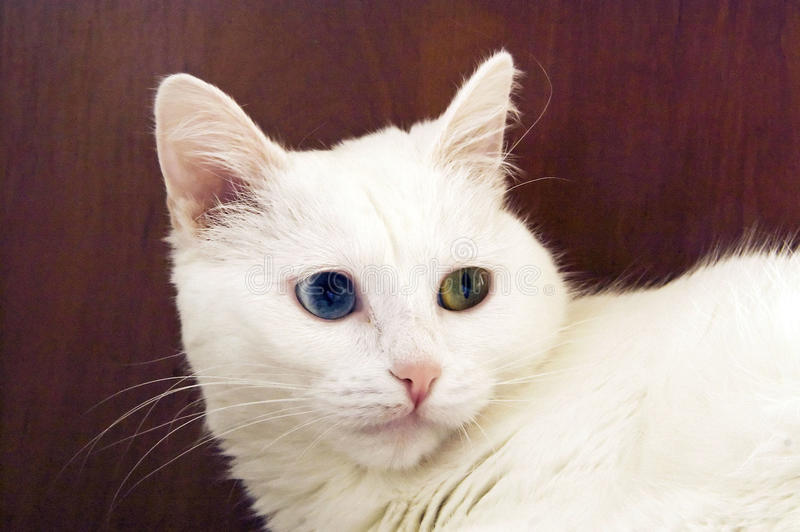 Download White cat stock image. Image of domestic, nose, hair - 17530955