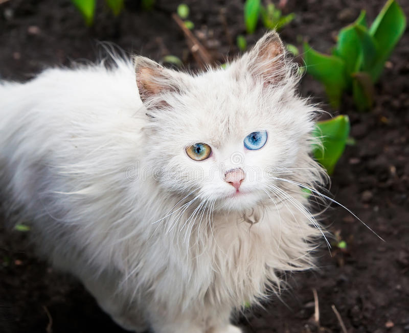 Download White Cat Royalty Free Stock Photography - Image: 17697247