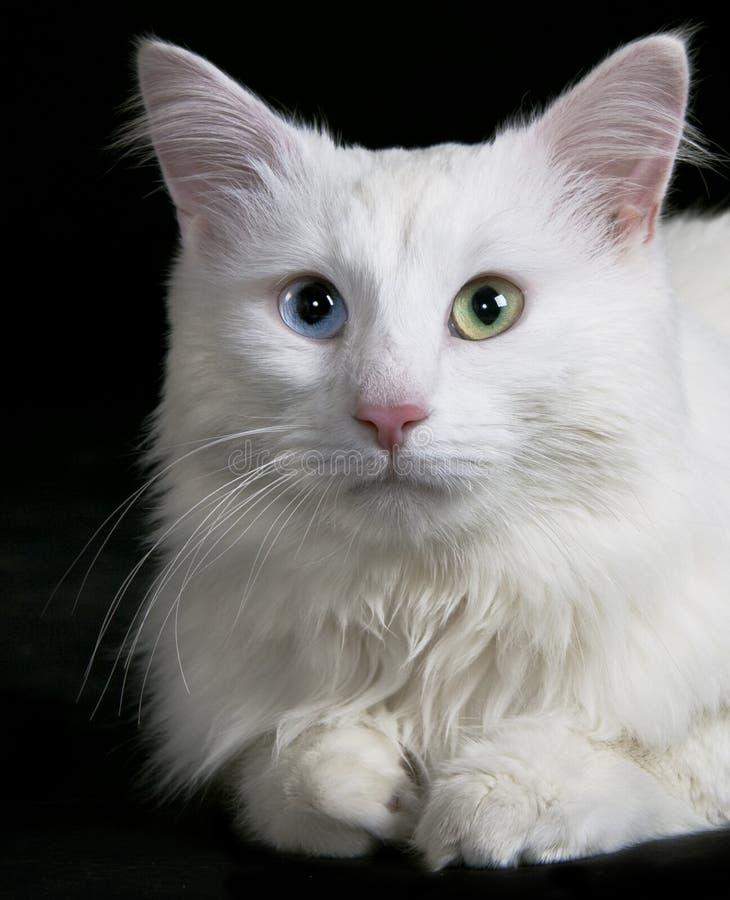 Download White cat stock image. Image of pose, pets, eyes, mammals - 18967313