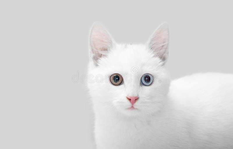 Download White cat stock photo. Image of studio, portrait, mammal - 22371900