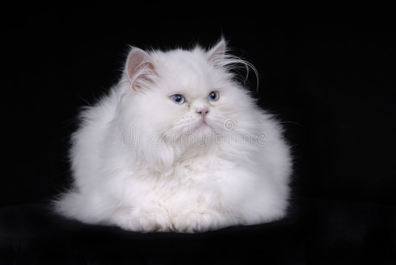 White cat. Young white kitten isolated on black background stock image