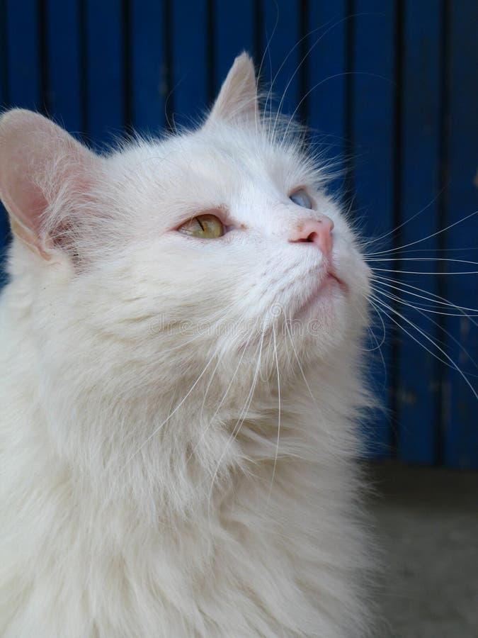 Free White Cat Stock Photos - 823153