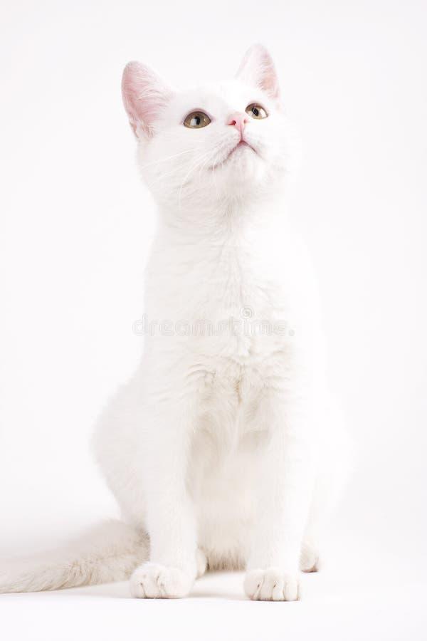 White cat analyzing royalty free stock photos