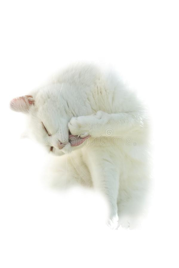 White Cat on White. A beautiful white cat licking its paw is portrayed on a pure white backdrop stock images