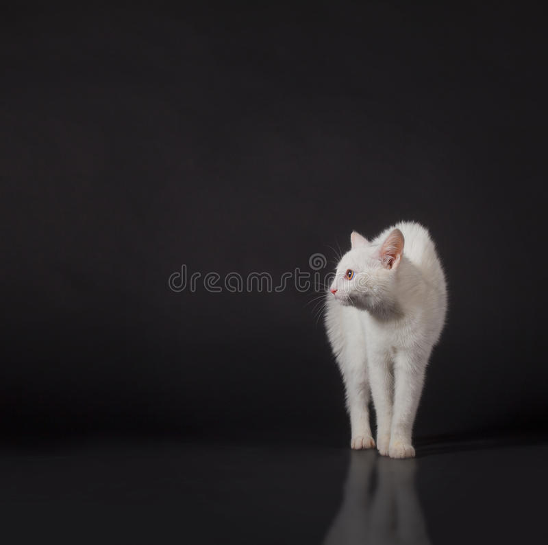 White cat on black royalty free stock image