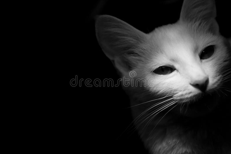 White cat on a black background, mystical artistic light. On the face contrasting shadows stock images