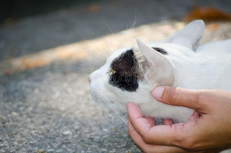 White cat with black color mark on face resting and playing with person`s hand. stock image