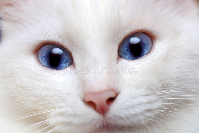 White cat with blue eyes. Close-up stock images