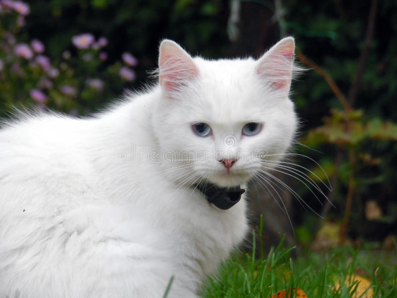 White Cat with Blue Eyes. Female Turkish Angora cat with blue eyes portrait royalty free stock photos