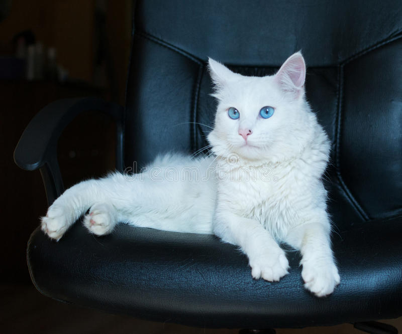 White cat with blue eyes. Lying in a black leather chair stock photography