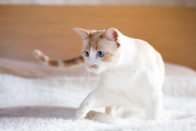 White cat with blue eyes. Nose of a cat from the European white coat with blue eyes royalty free stock images