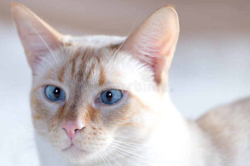White cat with blue eyes. Nose of a cat from the European white coat with blue eyes stock photos