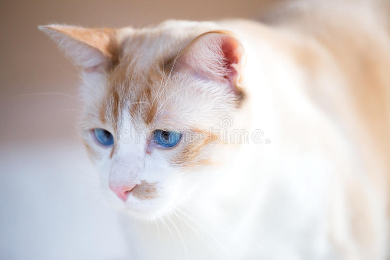 White cat with blue eyes. Nose of a cat from the European white coat with blue eyes royalty free stock photo