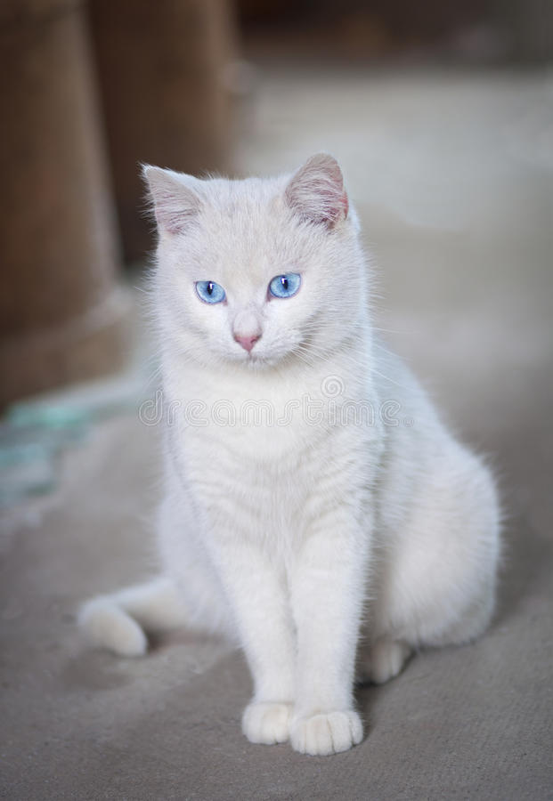 White cat with blue eyes. Posing royalty free stock image