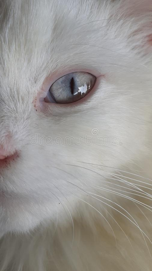 White cat with bright eyes. Closeup, potrait royalty free stock images