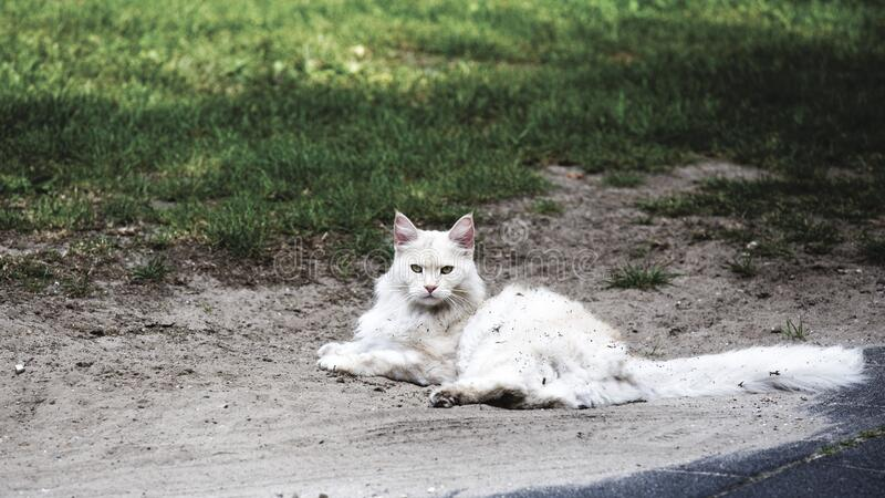 White Cat on Brown Sandy Floor during Daytime royalty free stock photography