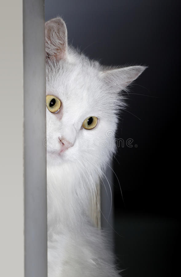 White cat close-up stock photography