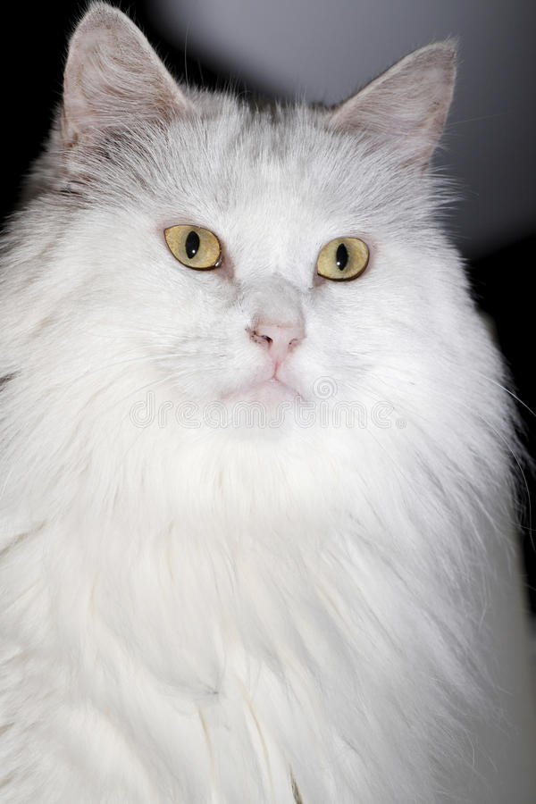 White cat close-up royalty free stock photo