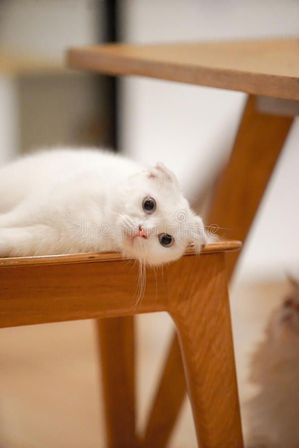 White Cat. Couch on the chair floor with dramatic tone, select focus eye stock photos