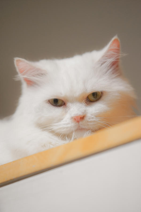 White Cat. Couch on the wood floor with dramatic tone, select focus eye royalty free stock photos