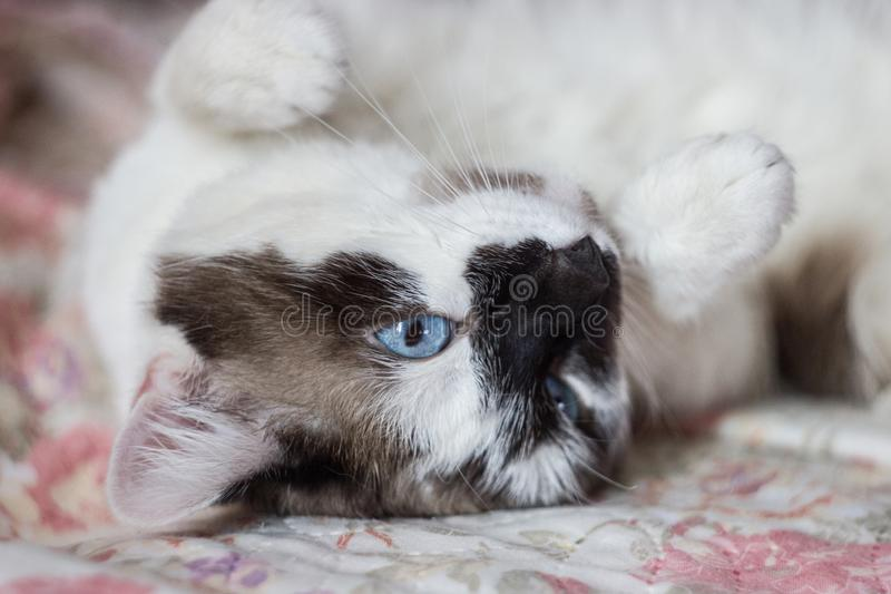 White cat with dark spots and blue eyes royalty free stock image
