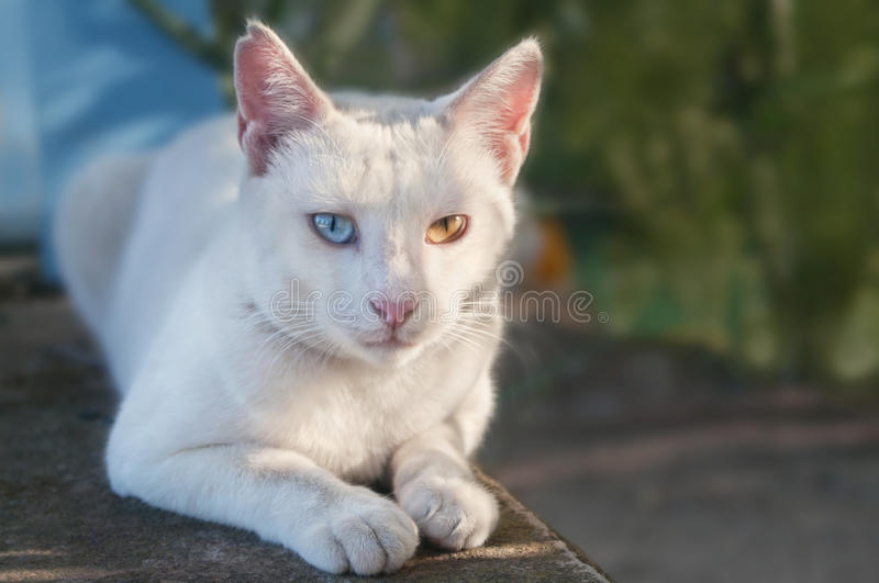 White cat with different eye colour lying in street royalty free stock photos