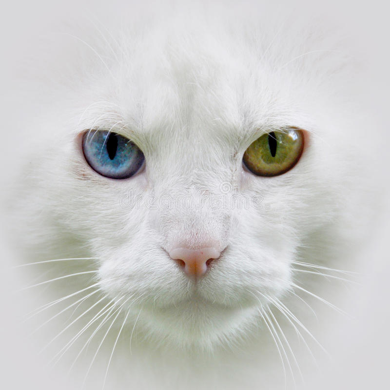 White cat, different eyes. Cat with different colored eyes, unusual royalty free stock photo