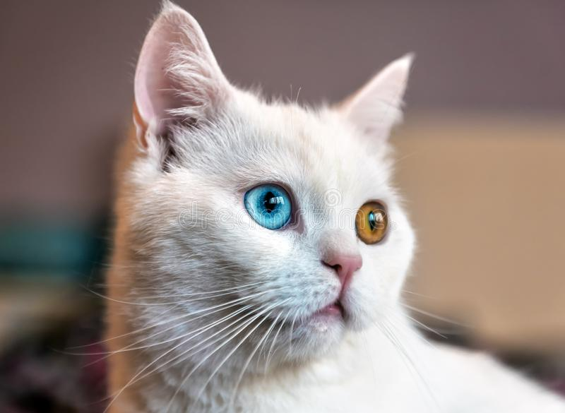 White cat with different eyes1 royalty free stock images