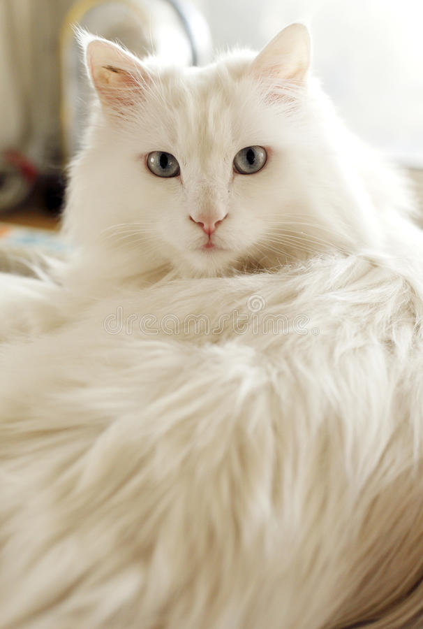 White cat indoor.