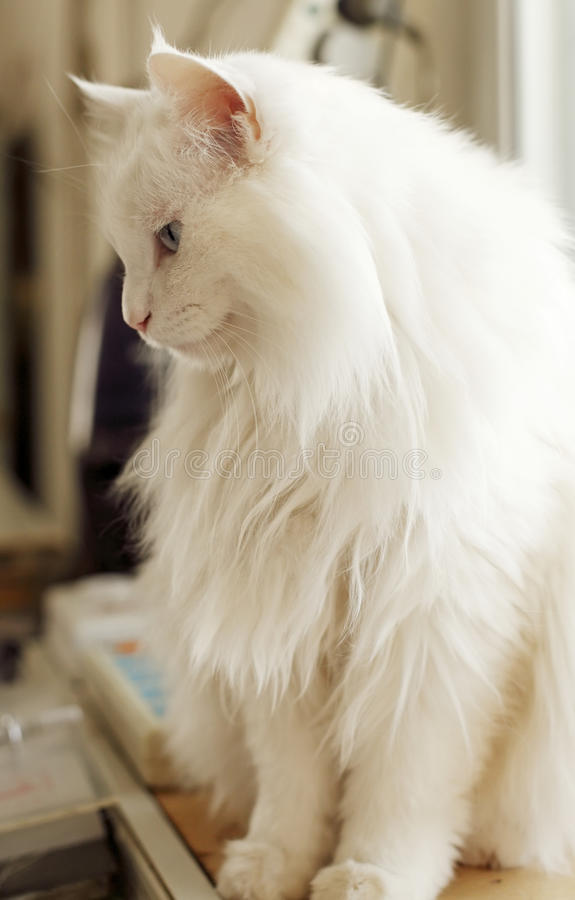 Download White cat indoor. stock image. Image of breed, backgrounds - 14106777