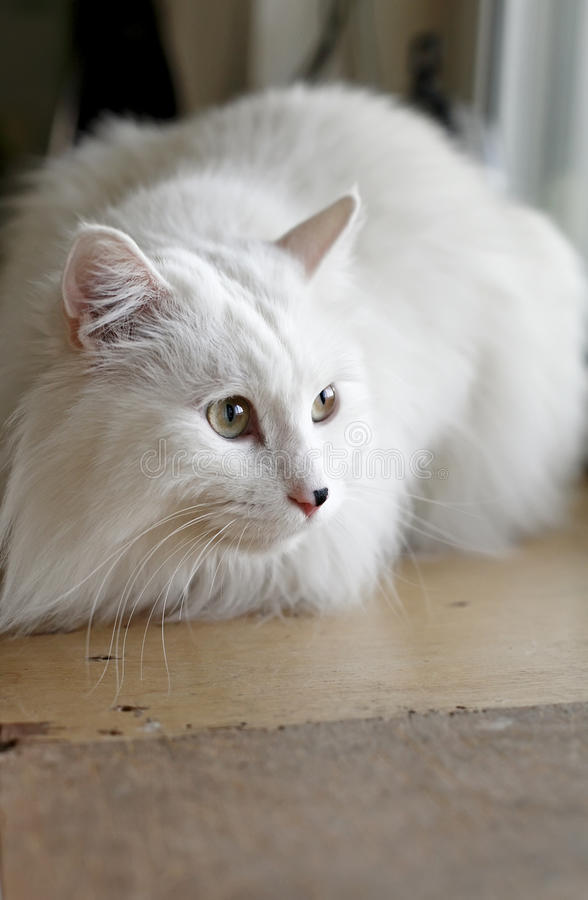 White cat indoor. royalty free stock photos