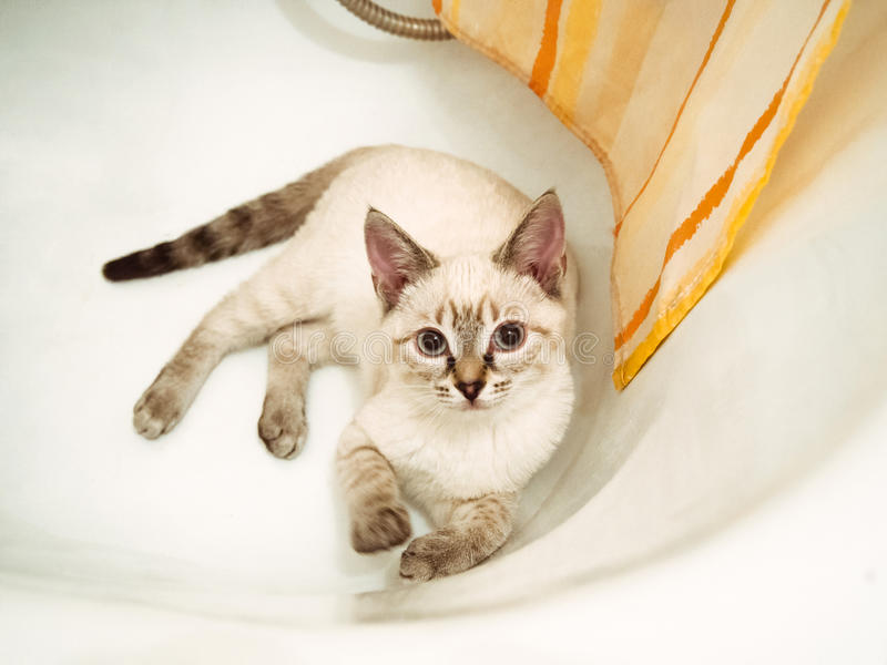 The white cat lies in a bathtub. The white siamese cat lies in a bathtub stock photos