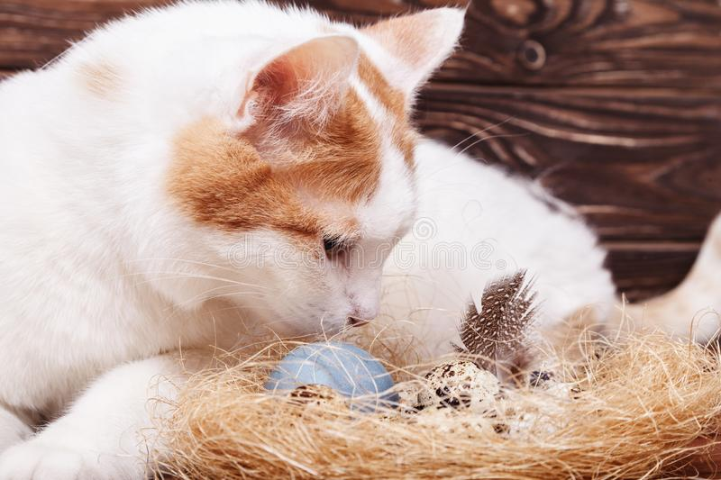 A beautiful white cat looks curiously at the Easter quail egg in the nest on the table. Easter holiday card. The white cat looks curiously at the Easter quail stock photography