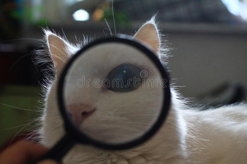 white cat looks through a magnifying glass lens and a large eye royalty free stock photos