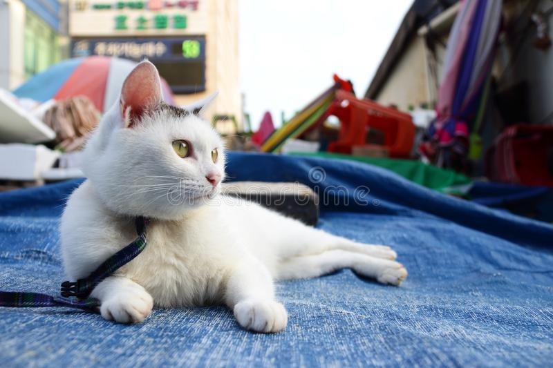 White Cat Lying on Blue Tarpaulin royalty free stock image