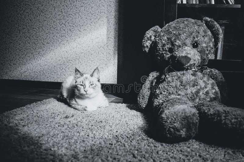 White cat lying on a carpet in square of light with teddy bear and a bookcase looking at you, black and white stock photo
