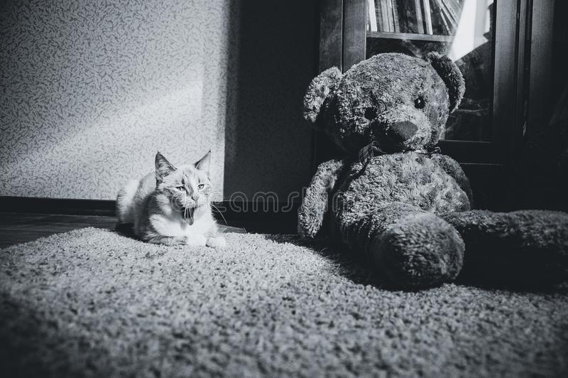 White cat lying on a carpet in square of light with teddy bear and a bookcase and yawning, black and white stock photo