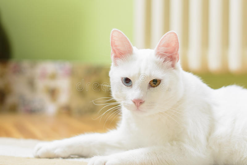 White cat in a lying position royalty free stock photography