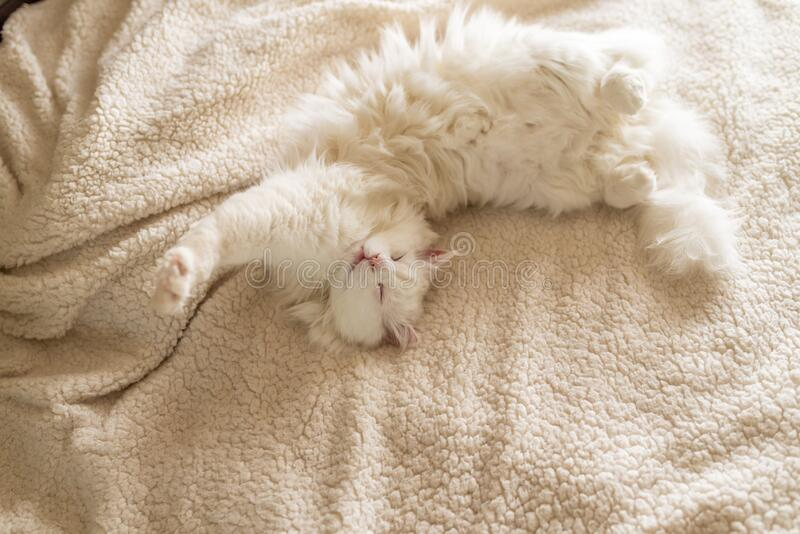 White cat is lying on the rug. Pretty white cat sleep on a white bed stock images