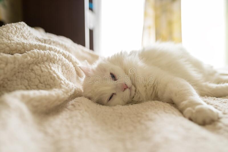 White cat is lying on the rug. Pretty white cat sleep on a white bed stock photos