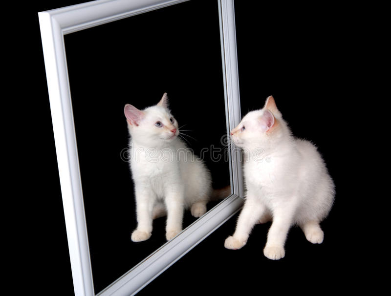 White cat in a mirror. Cute white cat looking at itself in a mirror on black background royalty free stock images