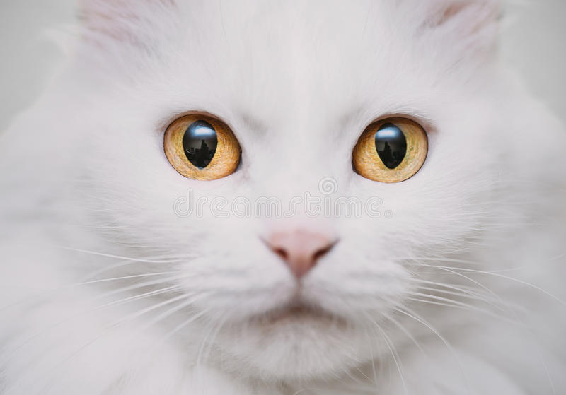 White cat. Muzzle of fluffy cute cat of white color looking at camera. Close-up. High key photography stock photography