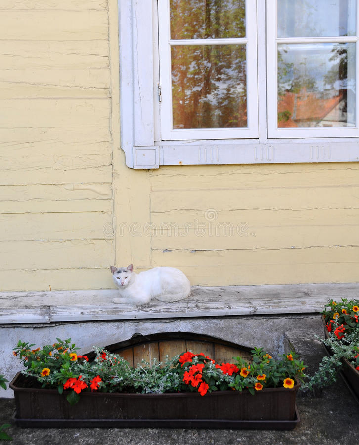 White cat near the window royalty free stock photo