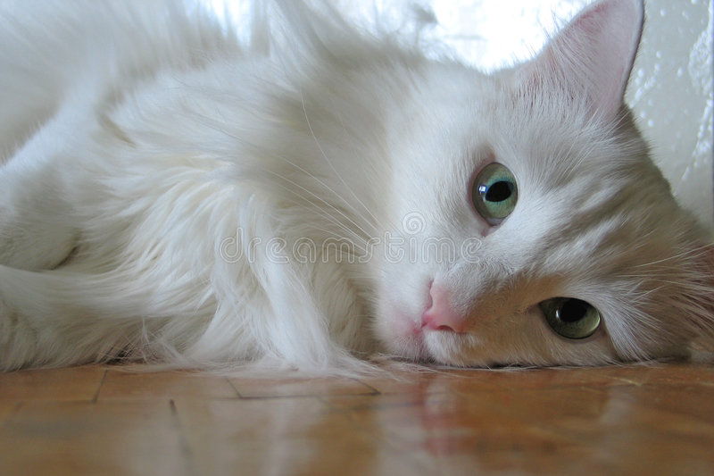 White cat on a parquet