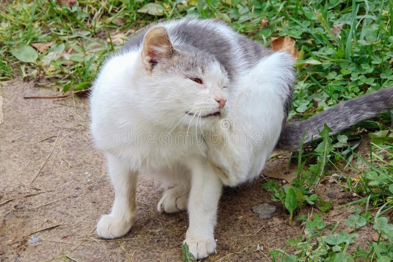 White cat paws his ear close up. White cat paws his ear and sits on the green grass close up stock photo