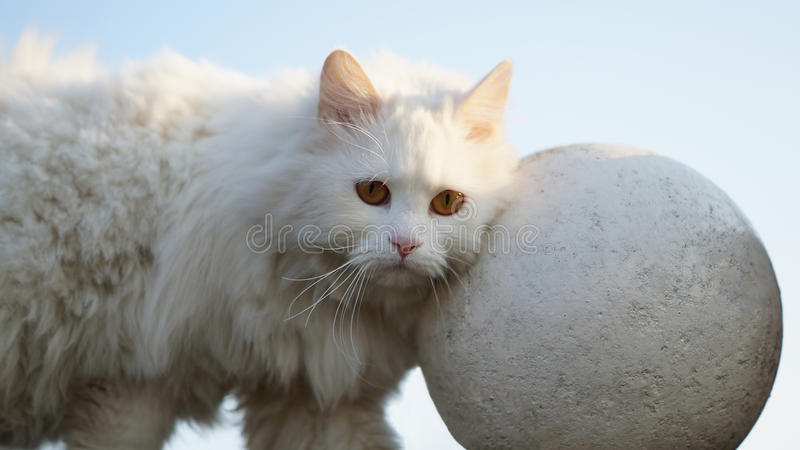 White cat with plaster ball royalty free stock photography