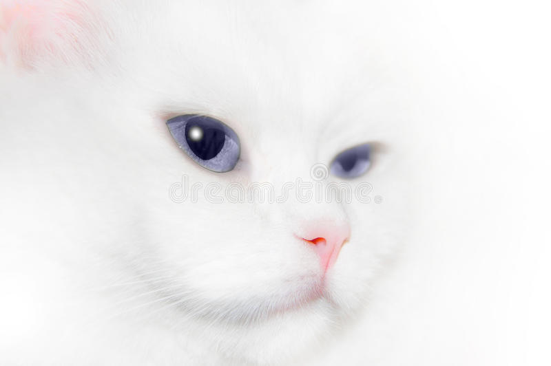 Download White Cat Portrait stock photo. Image of grooming, animals - 11109728