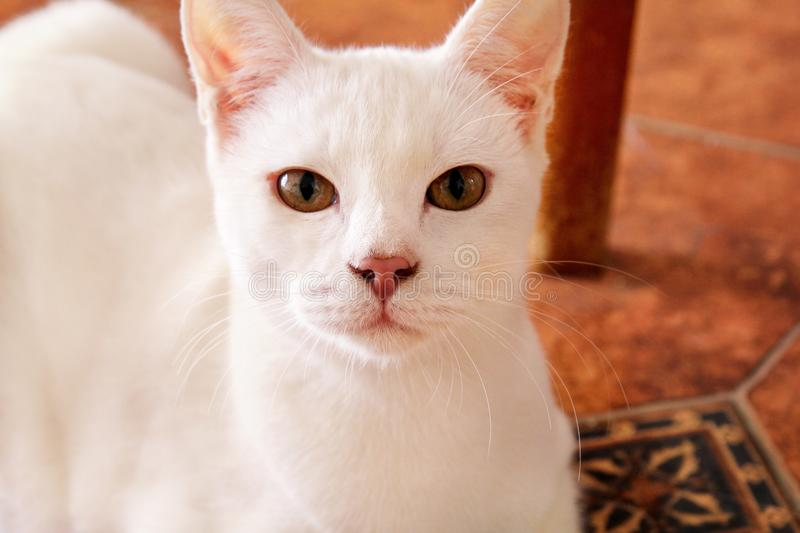 White cat portrait at home lying and relaxing. Close up of white kitten cat in house. Cute beautiful little kitty. White cat portrait at home lying and relaxing royalty free stock photo