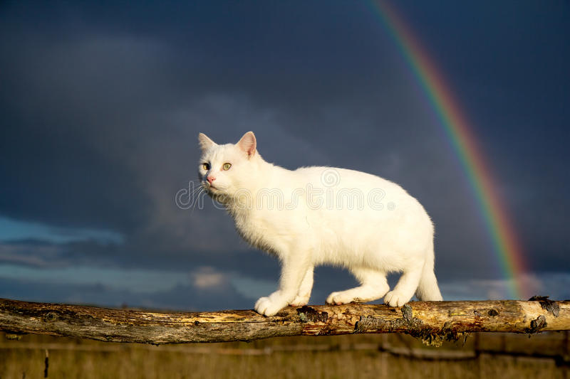 White cat and rainbow